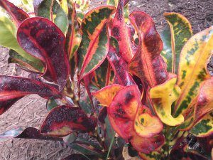 Crotons for Winter Color