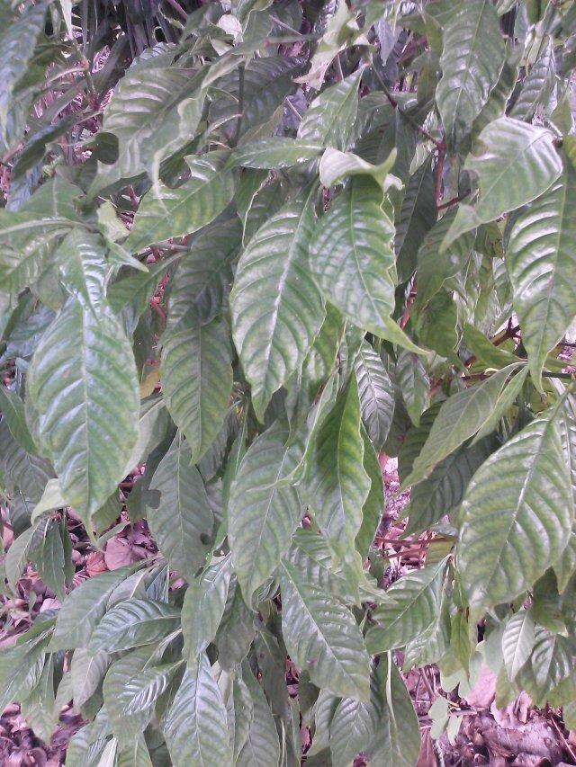 Wild Coffee- Pschotria nervosa