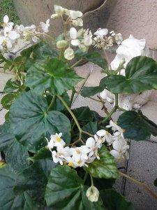 Sweet Begonias