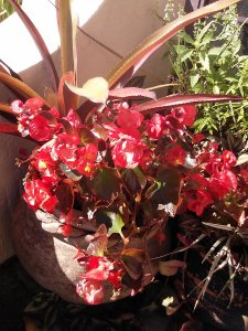 Begonias and Bromeliads