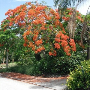 The Flamboyant Tree