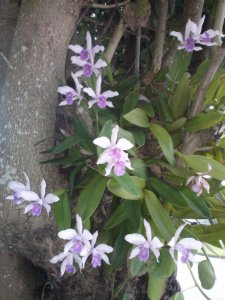 Cattleya Orchids in Hong Kong Orchid Tree