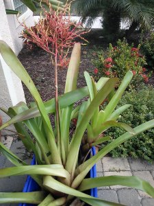 Large  Orange Blanchetiana Bromeliad