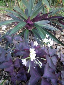 Purple Oxalis in Floridian mode with Oyster Plants