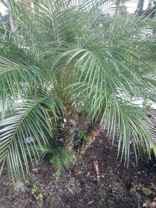 Pygmy Date Palm Phoenix roebellini