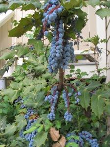 Fruit of the Mahonia bealei