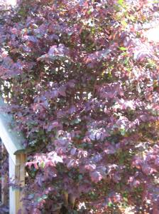 Burgundy Loropetalum in Atlanta