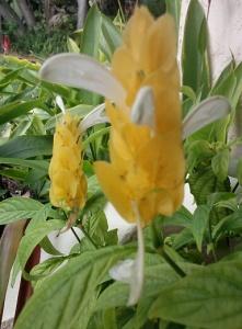 Shrimp Plant Pachystachys lutea