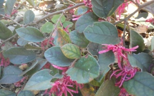 Burgundy Loropetalum in South Florida