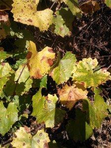 Muscadine Vitis rotundafolia