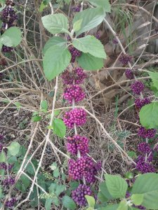 Beautyberry Calliocarpa americana