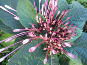 Winter Starburst Clerodendrum