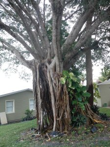 Ficus aurea Strangler Fig