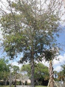 Live Oak Quercus virginiana