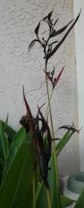 Spooky Heliconias