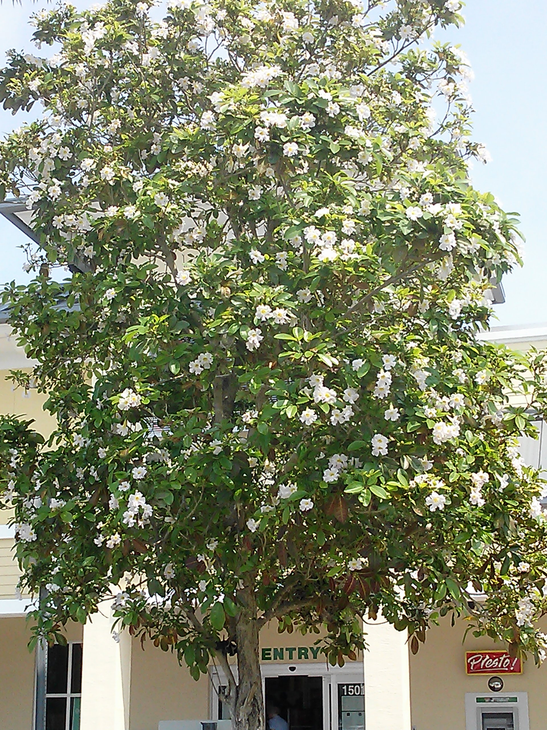 Flowering tree for south florida the shrub queen white geiger tree mightylinksfo