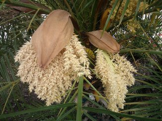 Pygmy Date Palm Flowers
