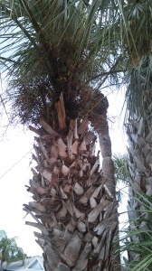 Cabbage Palm with Boots Palmetto sabal