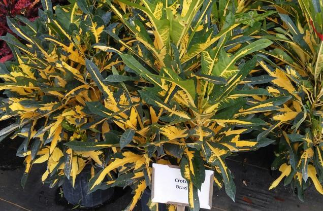 Brazil Croton