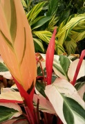 Tricolor Ginger LIly